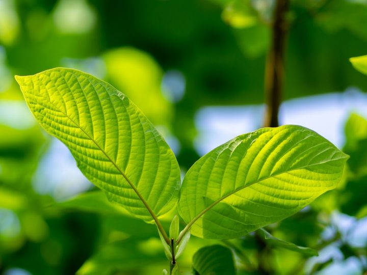Kratom Effects: What We Can and Can't Talk About